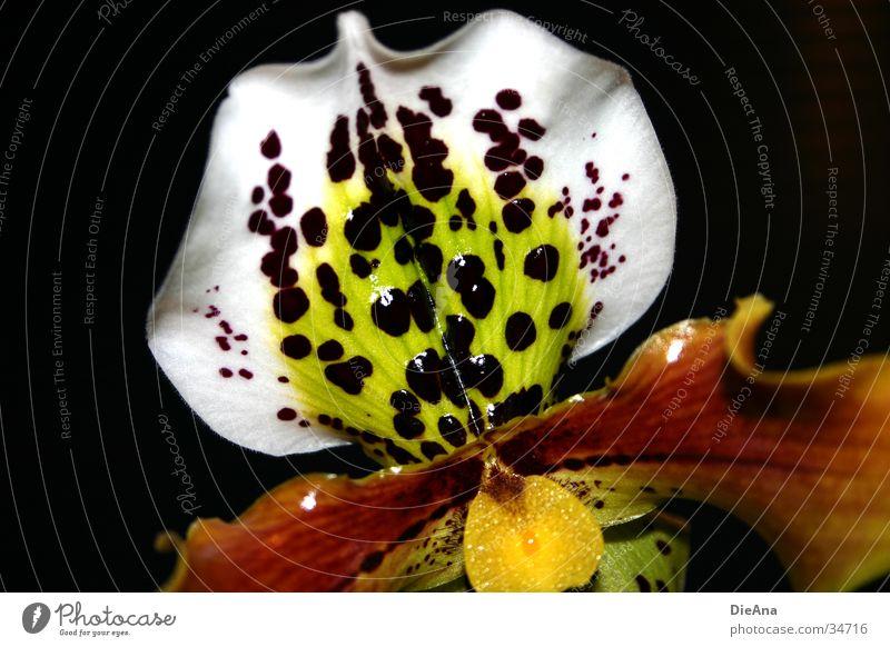 Dotty Dark Natur weiß rot Blume gelb Blüte orange Punkt violett Fleck Orchidee Stempel Zimmerpflanze magenta getupft