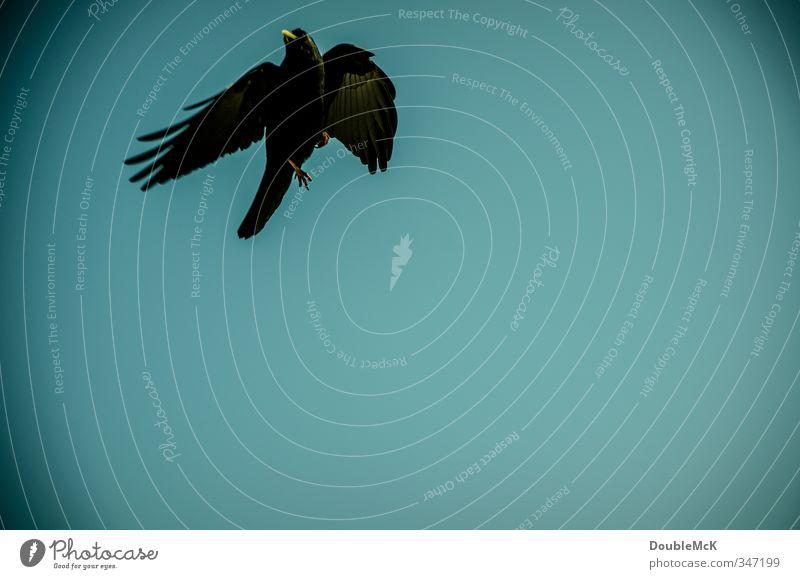 Erwischt! Himmel Wolkenloser Himmel Tier Vogel Flügel 1 fliegen frei stark blau schwarz Kraft Leben Freiheit Ferne Dohle Farbfoto Außenaufnahme Nahaufnahme