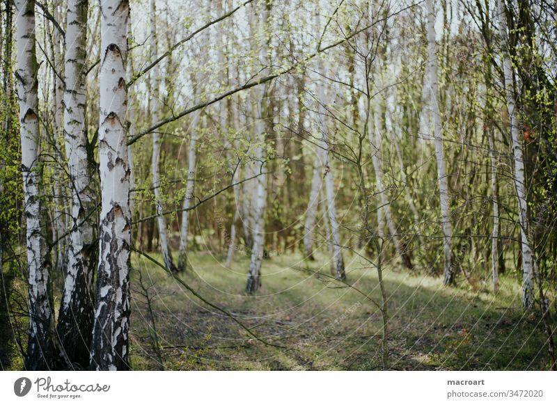 Birkenwald Außenaufnahme Natur Wald Baum Tag Umwelt Landschaft Menschenleer Farbfoto Frühling Forstwirtschaft
