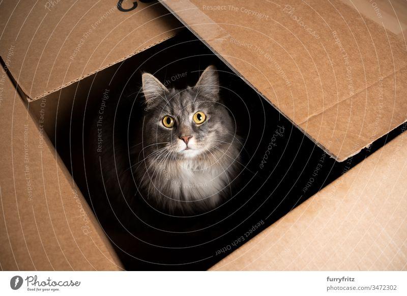 süße Maine Coon Katze sitzt in einem Pappkarton und schaut in die Kamera Ein Tier im Innenbereich Haustiere Rassekatze Langhaarige Katze blau gestromt grau weiß
