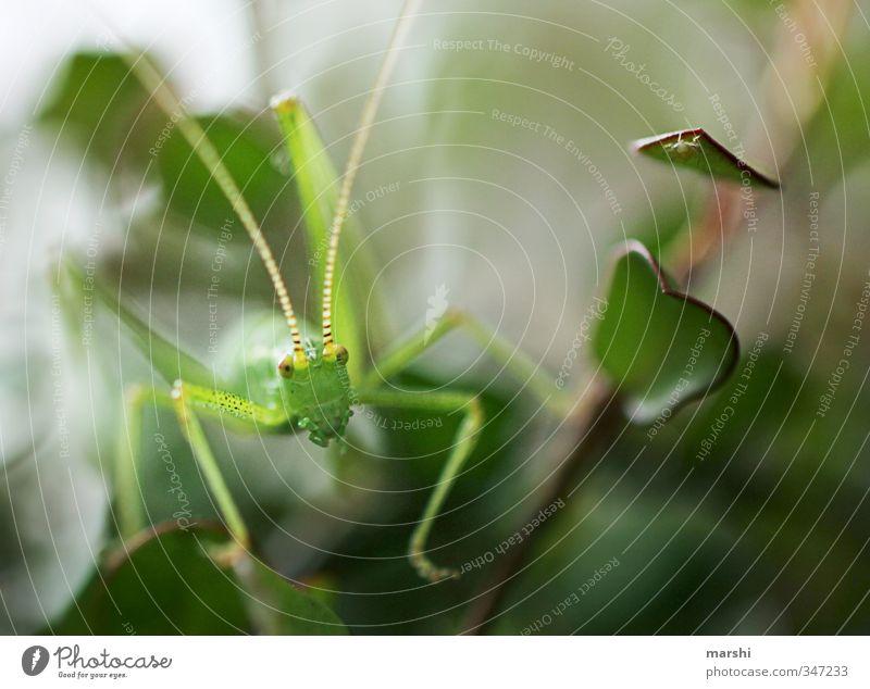 mein Freund Flip Tier Wildtier 1 grün Heuschrecke Blatt Natur Fühler klein Platzangst Schwache Tiefenschärfe hüpfen schön Farbfoto Innenaufnahme Nahaufnahme
