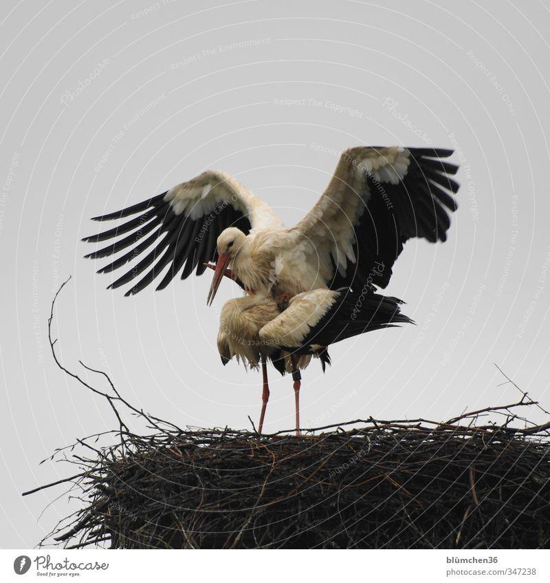 Eigenbedarf weiß Tier schwarz Liebe natürlich Vogel Wildtier Kommunizieren berühren Romantik Lebensfreude Verliebtheit Partnerschaft Treue Nest Storch
