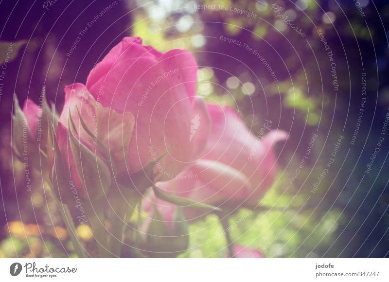 Sommer. Sonne. Sonnenschein. Natur Pflanze Blume Umwelt Liebe Erotik Gefühle Blüte Garten rosa elegant Idylle ästhetisch Kreativität Blühend