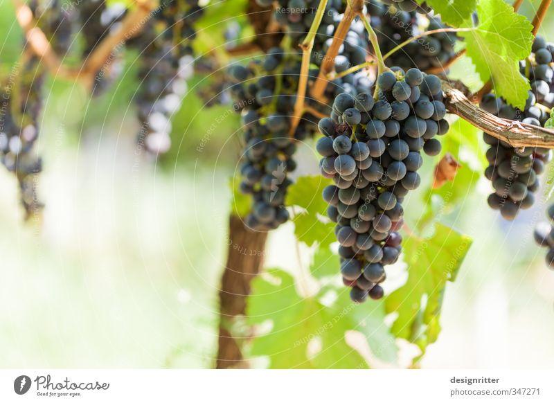 Volle Kanne Lebensmittel Wein Beruf Gartenarbeit Winzer Pflanze Nutzpflanze Weintrauben Rotwein Weinberg Wachstum warten ästhetisch lecker reich rund saftig