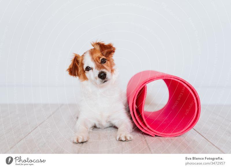 süßer kleiner Jack-Russell-Hund, der zu Hause auf einer Yogamatte liegt. Gesunder Lebensstil im Haus Frau heimwärts Unterlage Haustier jack russell Zusammensein