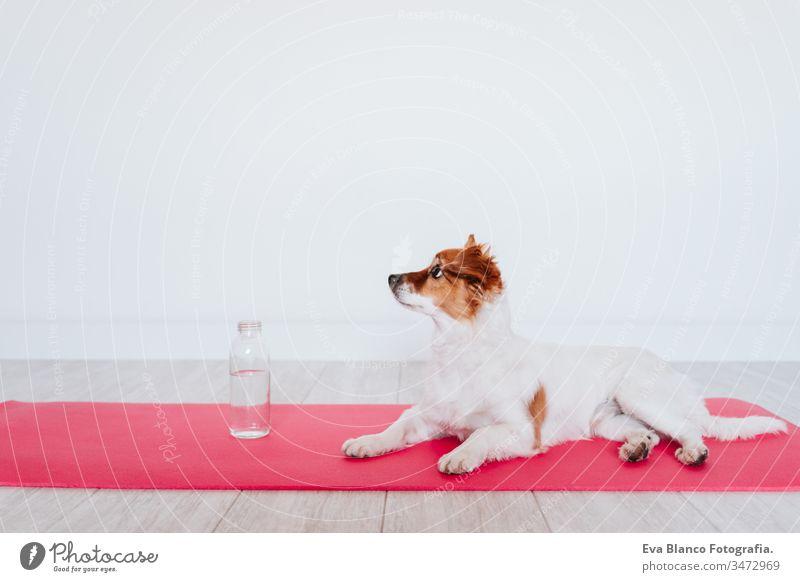 süßer kleiner Jack-Russell-Hund, der zu Hause auf einer Yogamatte liegt. Außerdem eine Flasche Wasser. Gesunder Lebensstil im Haus Frau heimwärts Unterlage