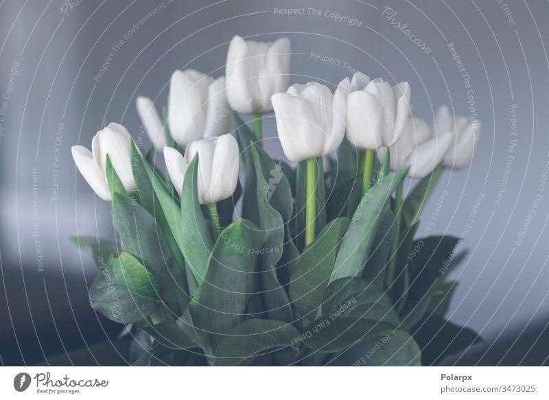Blüten von weißen Tulpen auf grünen Stielen Gartenarbeit elegant Nahaufnahme Dekoration & Verzierung Ornament März Reichtum Frühling Ostern Überstrahlung