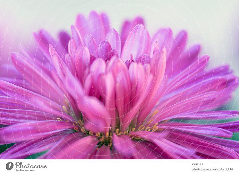 Asterblüte in Pink vor hellem Hintergrund Blüte Blume rosa pink Pflanze Blühend Nahaufnahme Detailaufnahme Garten Sommer Hintergrund neutral