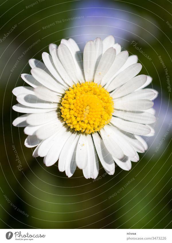 Daisy Gänseblümchen Margeriten Nahaufnahme Sommer Blume Natur Pflanze grün weiß schön Gras Garten Makroaufnahme Blüte gelb Frühling Wiese Unschärfe Wachstum