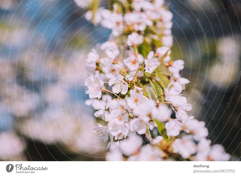 Blütenpracht in weiß Blütenpflanze Blütenblätter zart Frühling Blütenblatt Menschenleer Außenaufnahme Natur Blume Pflanze Detailaufnahme Farbfoto schön Blühend