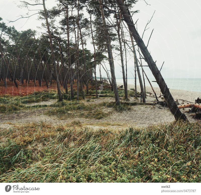 Soziale Schieflage Windflüchter Darß Weststrand Küste Ostsee Landschaft Natur Baum Umwelt Außenaufnahme Pflanze Menschenleer Gras Himmel windschief Meer