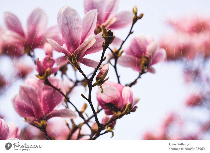Magnolienblüten in voller Pracht mit hellem Hintergrund spazieren Unschärfe achtsam Achtsamkeit Positiv Blütenknospen Inspiration Fröhlichkeit Duft Blumenliebe