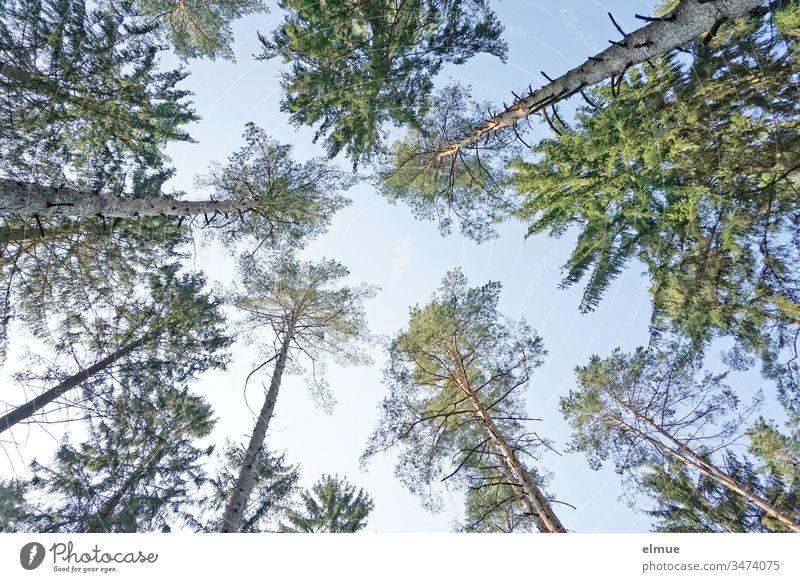 zahlreiche Nadelbaumspitzen aus der Froschperspektive bei blauem Himmel Wald nach oben grün himmelwärts Stamm formatfüllend Baum hoch Schönes Wetter