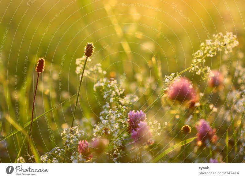 golden light Natur grün schön Sommer Blume Wärme Wiese Gras Garten hell rosa träumen Zufriedenheit Feld Wachstum leuchten
