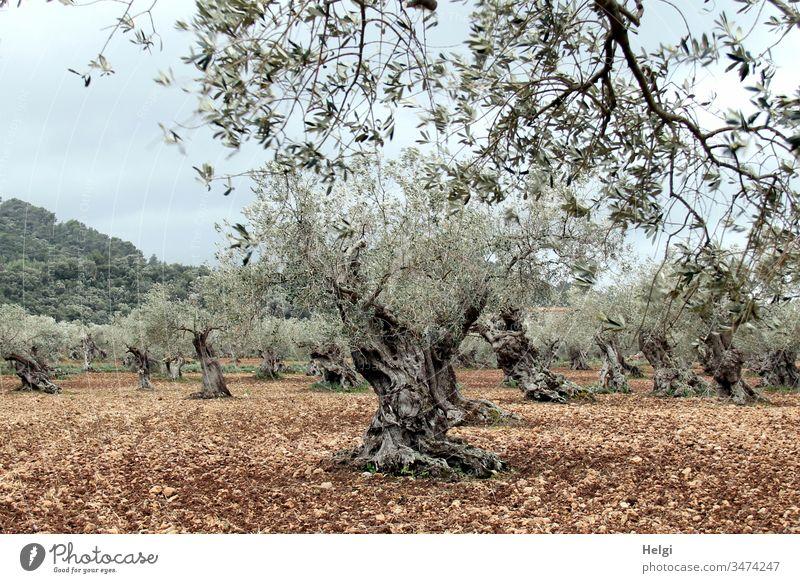 uralte knorrige Olivenbäume in einem Olivenhain Olivenbaum Landschaft Umwelt Natur Baum Nutzpflanze Außenaufnahme Farbfoto Menschenleer Landwirtschaft Mallorca