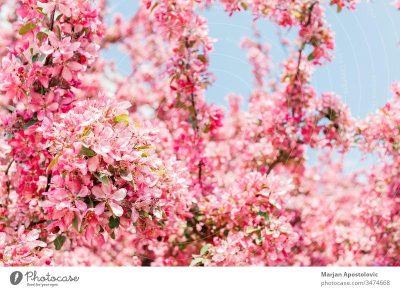 Wunderschön blühende Kirschblüte im Frühling April Hintergrund Blütezeit Überstrahlung Blühend botanisch Botanik Ast hell Blütenknospen Kirsche Nahaufnahme