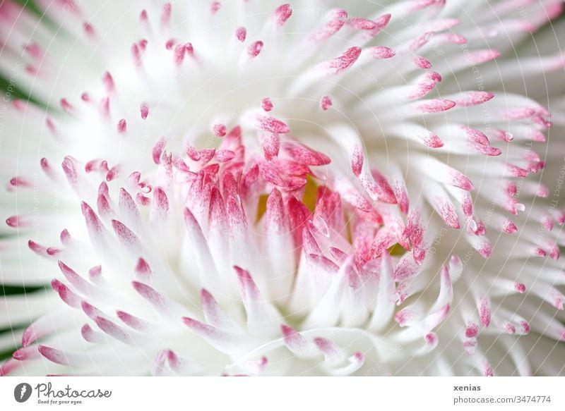 Makroaufnahme: geschlossenes großes Gänseblümchen in Weiß und Rosa Blüte Maßliebchen Blume weiß rosa Zungenblüten Frühling Pflanze Studioaufnahme schön