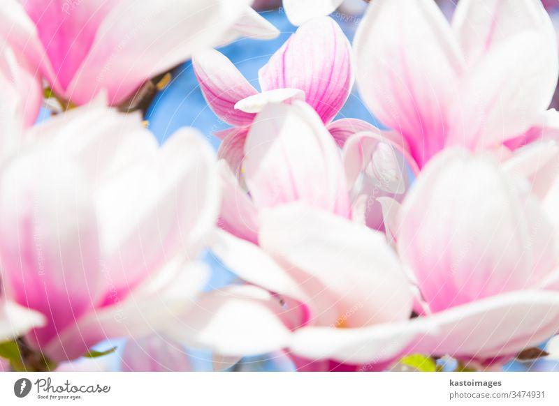 Wunderschöne Magnolienbaumblüte im Frühling. Blume Baum Blütezeit April Hintergrund Schönheit botanisch Botanik Ast Blütenknospen Nahaufnahme farbenfroh