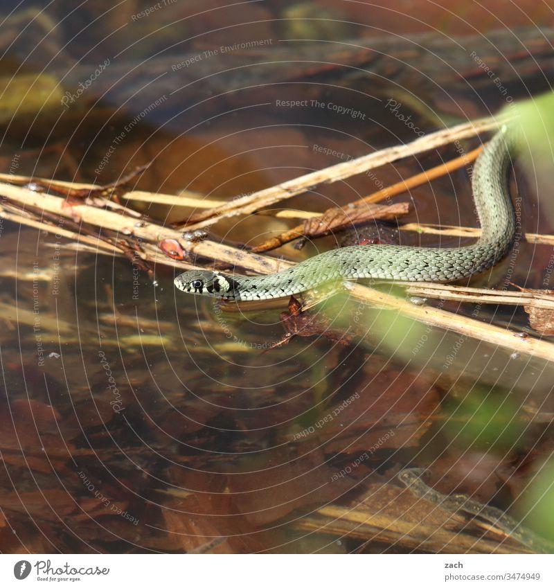 Ringelnatter im Wasser Schlange Tier Natter Reptil 1 Natur Wildtier See braun Schuppen grün giftig wild