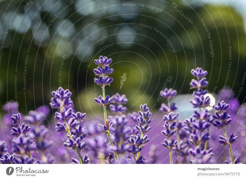 Feld mit Lavendelblüten (lavandula angustifolia) Blume Ackerbau Aromatherapie aromatisch Hintergrund Blütezeit Überstrahlung abschließen Nahaufnahme Farbe