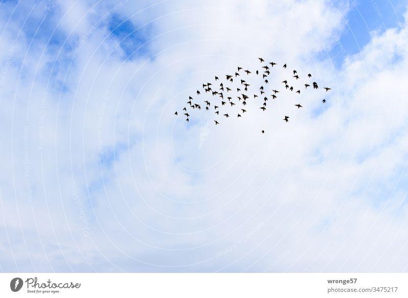 Geräusch | Flügelschlag eines Vogelschwarmes am Himmel fliegen flügelschlagen Schwarm Außenaufnahme Menschenleer Farbfoto Tag Wolken Natur Tier Tiergruppe