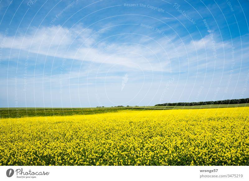 Blühendes Rapsfeld unter blauen Himmel mit zarten Wolken auf der Insel Rügen Rapsblüte gelb Sonnenschein schönes Wetter Landschaft Außenaufnahme Farbfoto Feld