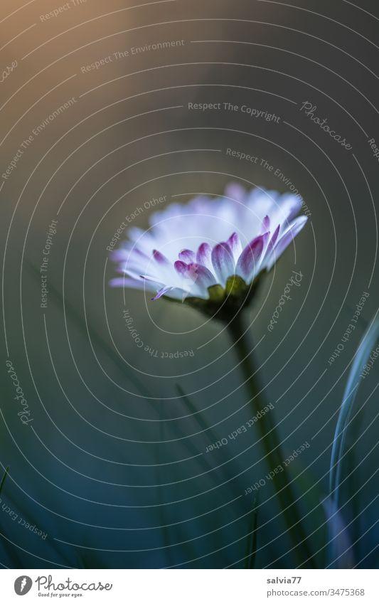 Gänseblümchen Natur Pflanze Frühling Blüte Farbfoto Blühend Außenaufnahme Blume Schwache Tiefenschärfe Wachstum grün weiß Makroaufnahme Duft zart schön
