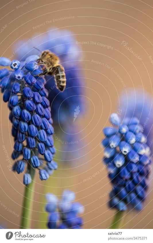 Biene fliegt auf blaue Traubenhyazinthe Natur Blume Blüte braun Pflanze bestäuben fliegend Honigbiene fleißig Farbfoto Duft Pollen Schwache Tiefenschärfe 1