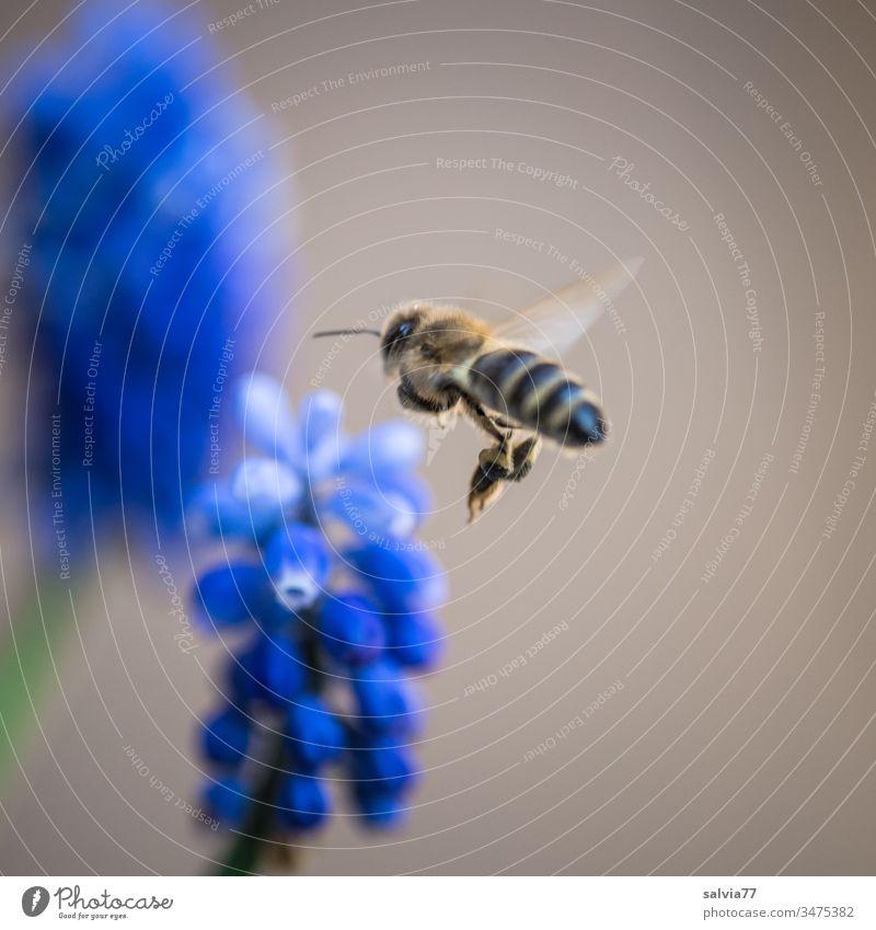 Geräusch | Bienensummen fliegen Natur Insekt Blume Pflanze Blüte Außenaufnahme Sommer Farbfoto Garten Menschenleer Frühling Blühend Schwache Tiefenschärfe