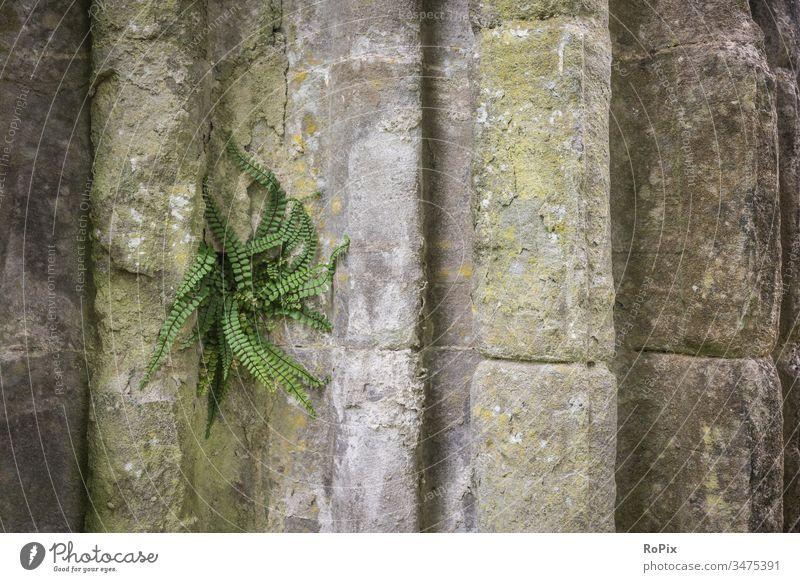 Farn an der Wand einer schottischen Abbey. Mauer Steinquader wall Festung Sandstein Architektur Stadtmauer urban städtisch Lastwagen Burg Mauerwerk stone art