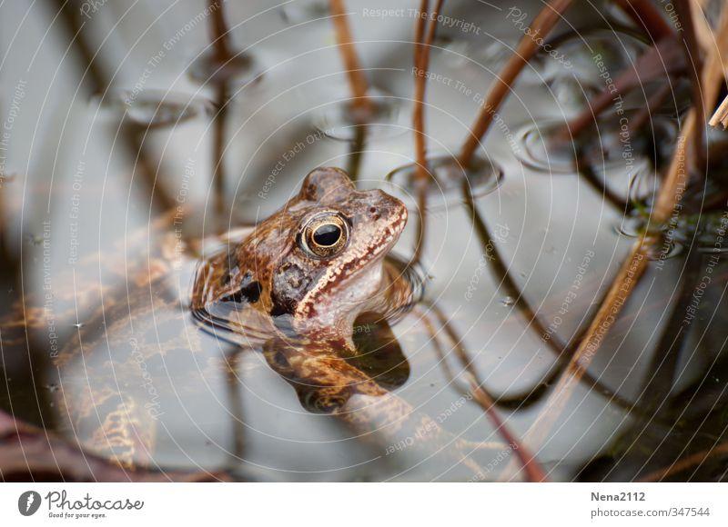 Auf der Futtersuche Umwelt Natur Tier Frühling Sommer Teich See Frosch 1 hängen Schwimmen & Baden warten Kröte braun Farbfoto Nahaufnahme Detailaufnahme