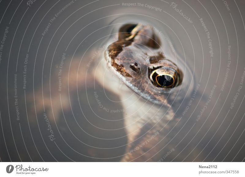 Kopf hoch! Umwelt Natur Tier Wasser Teich See Frosch Tiergesicht 1 atmen hängen Schwimmen & Baden Auge Kröte Blick Farbfoto Außenaufnahme Nahaufnahme
