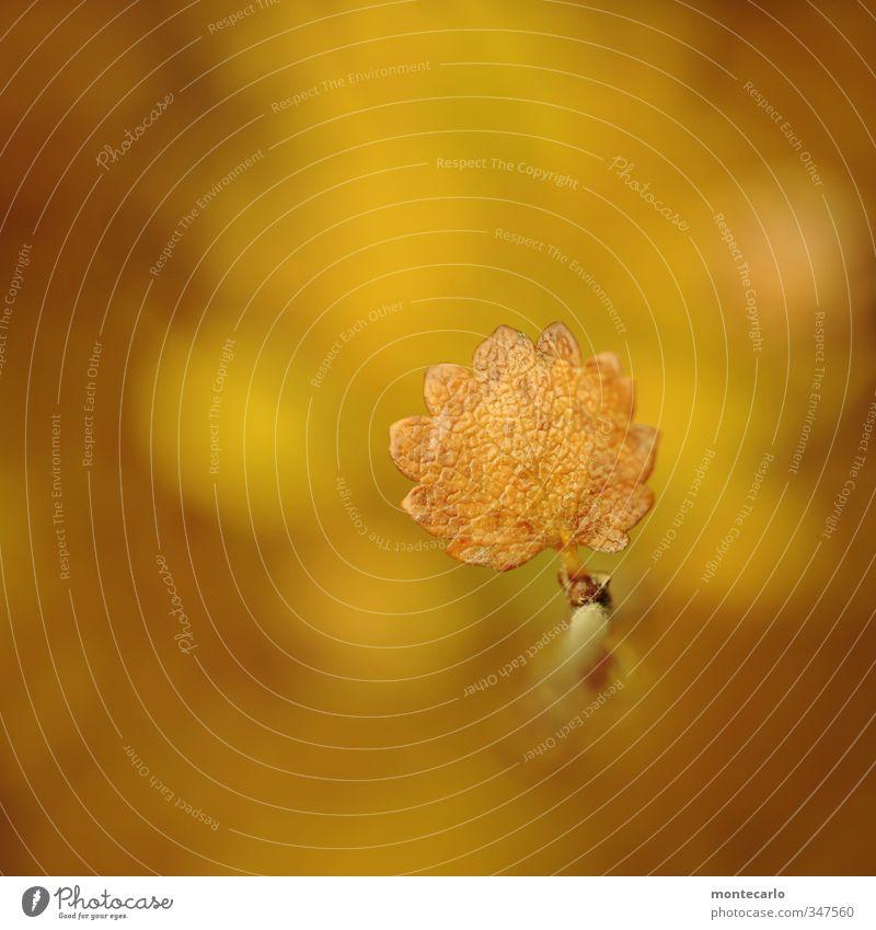 Gelbgold Umwelt Natur Pflanze Herbst Schönes Wetter Blatt Grünpflanze Wildpflanze dünn authentisch einfach natürlich trocken wild weich gelb Farbfoto