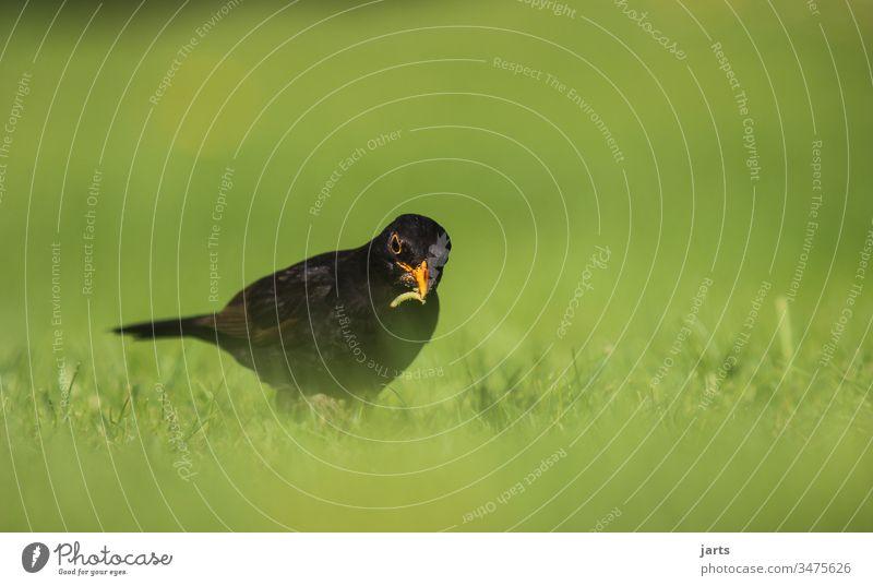 auf futter suche Amsel Vogel Futter Raube Essen Arbeit Tier Außenaufnahme Tierporträt Farbfoto Menschenleer Schwache Tiefenschärfe schwarz Textfreiraum oben