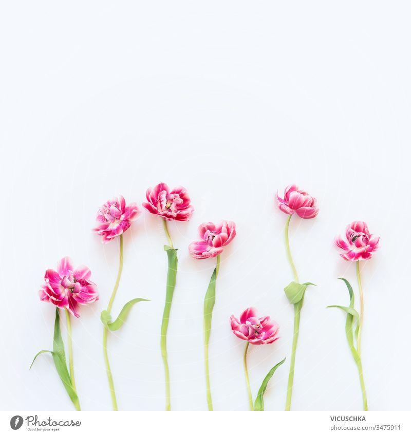 Zartrosa Tulpen mit Stielen und Blättern auf weißem Hintergrund. Blumenbordüre. Frühlingskonzept. Grußkarte zum Muttertag. Schönheit filigran Stängel geblümt
