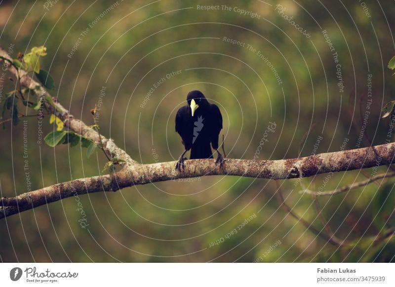 Schwarzer Vogel mit gelbem Schnabel auf Ast schwarz Natur grün Tier Baum Außenaufnahme Wald