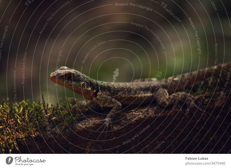 Eidechse auf Stein mit Moos Wald Natur Außenaufnahme Reptil Farbfoto Nahaufnahme grün