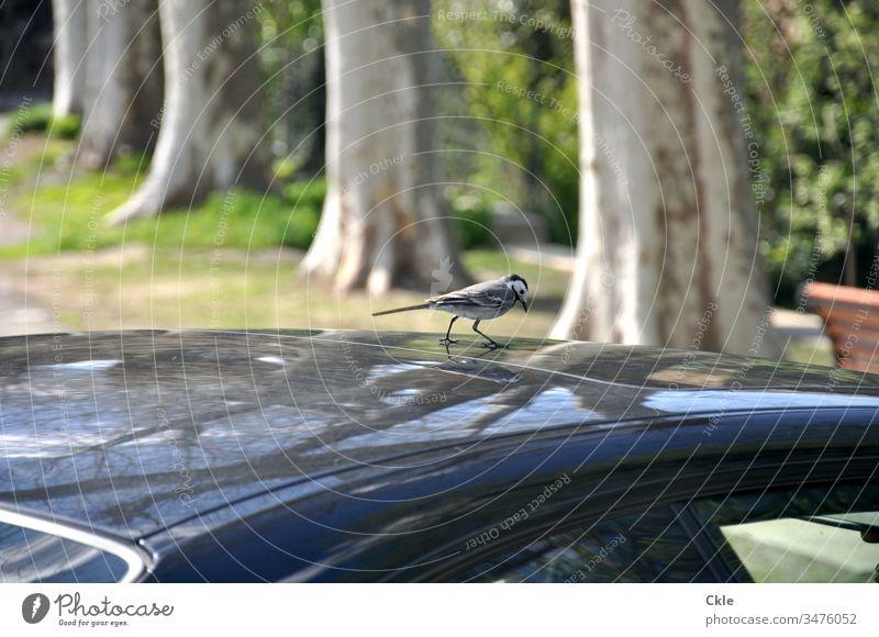 Als das Auto einen Vogel hatte Kraftfahrzeug PKW Dach Autodach Passagier Besucher Tier Farbfoto Außenaufnahme Verkehr Fahrzeug Straße Entdecker Untersuchung