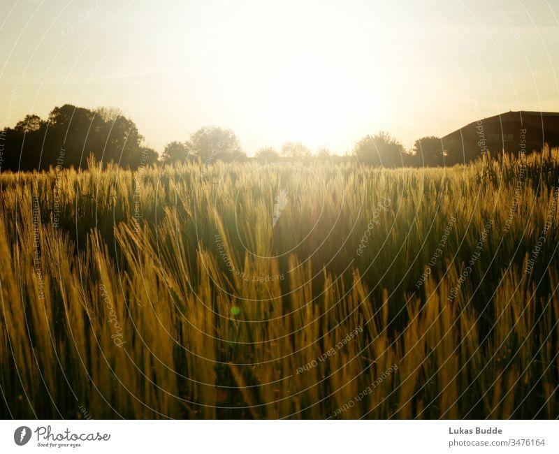 Kornfeld / Feld mit schönem Sonnenuntergang in Bayern, Deutschland Feldfrüchte Mais Landschaft Himmel Natur Weizen Sommer Gras Ackerbau Wiese Bauernhof
