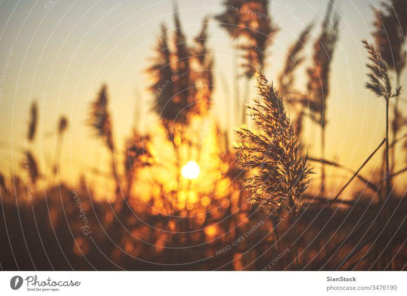 Gewöhnliches Schilf (Phragmiten) bei Sonnenuntergang Schilfrohr Phragmente allgemein Natur natürlich Pflanze Gras Herbst Licht Hintergrund golden communis