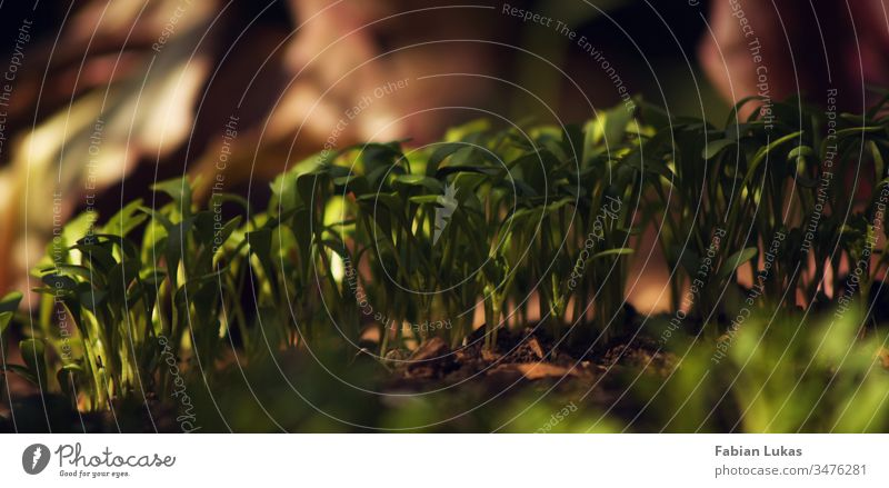 Beet mit jungen Pflanzen im Halbschatten Kräuter & Gewürze Kresse Schatten grün Ernährung Nahaufnahme Vegetarische Ernährung frisch