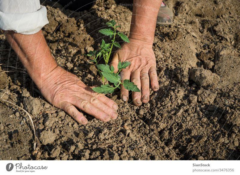 Tomaten auf dem Feld pflanzen Landwirtschaft Pflanze Ackerbau organisch Bepflanzung Gartenarbeit Boden Keimling Gemüse Frühling Hand wachsend Saatgut Pflanzen