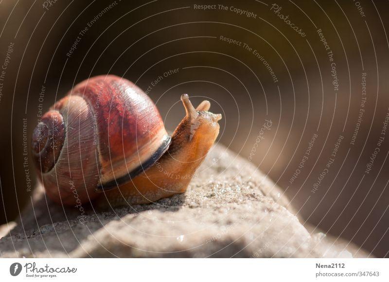 Langsam aber weiter... Natur Tier Umwelt klein braun gehen rennen Schnecke schleimig