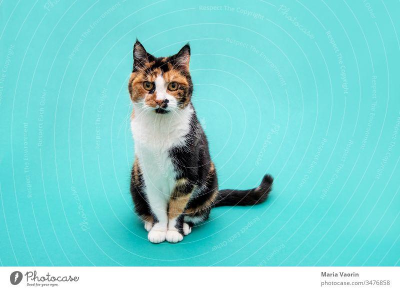 Lucy 2.0 Katze stehen stehend Tier Haustier Farbfoto 1 Menschenleer Zufriedenheit Tierporträt Blick nach vorn Blick in die Kamera Studioaufnahme