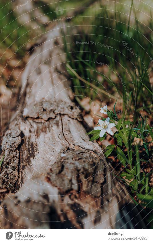 Weiße Blume blüht neben einem umgestürzten Baumstamm weiß Frühling Frühlingsblume Frühlingstag Frühlingsfarbe Frühlingsgefühle Buschwindröschen Blüte Natur