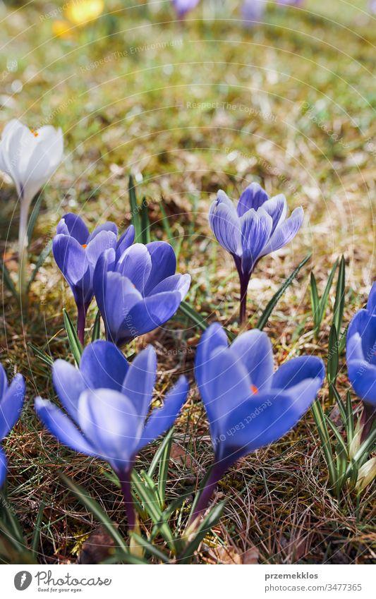 Krokus-Wildblumen blühen zu Beginn des Frühlings Erwachen des Frühlings Blume Krokusse Überstrahlung Blütezeit blau wild Park Wandel & Veränderung geblümt