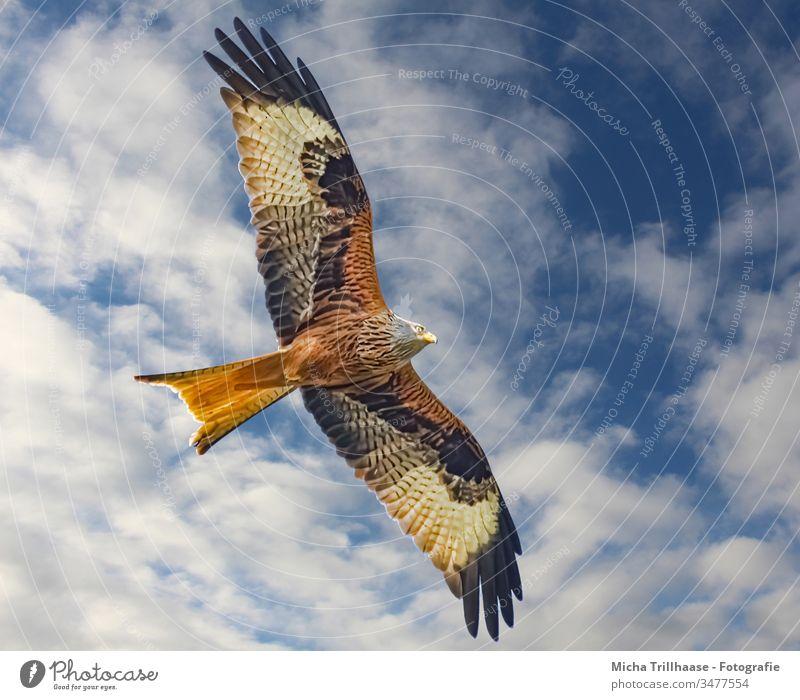 Rotmilan im Flug Roter Milan Milvus milvus Greifvogel Vogel im Flug Kopf Schnabel Auge Flügel Federn Gefieder Flügelschlag Flügelspanne Himmel Wolken Sonne