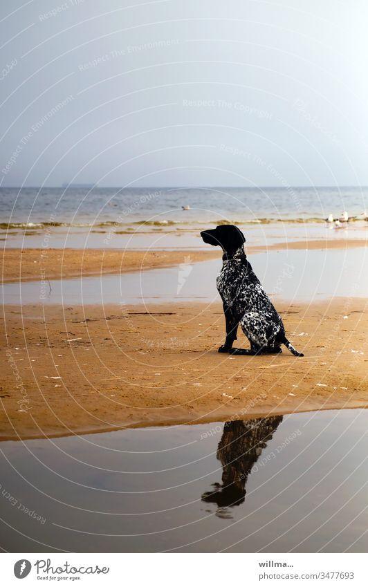 Jagdhund Deutsch Kurzhaar sitzt auf Sandbank Hund Ostsee sitzen Spiegelung Tier Vorstehhund schwarz See Meer