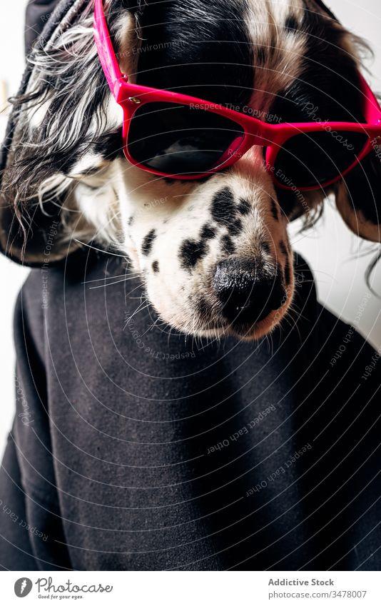 Süßer Hund mit Kapuzenpulli und Sonnenbrille Haustier Konzept Stil lustig Tier niedlich Glück heimisch Eckzahn englischer Setter Kleidungsstück Bekleidung ruhen
