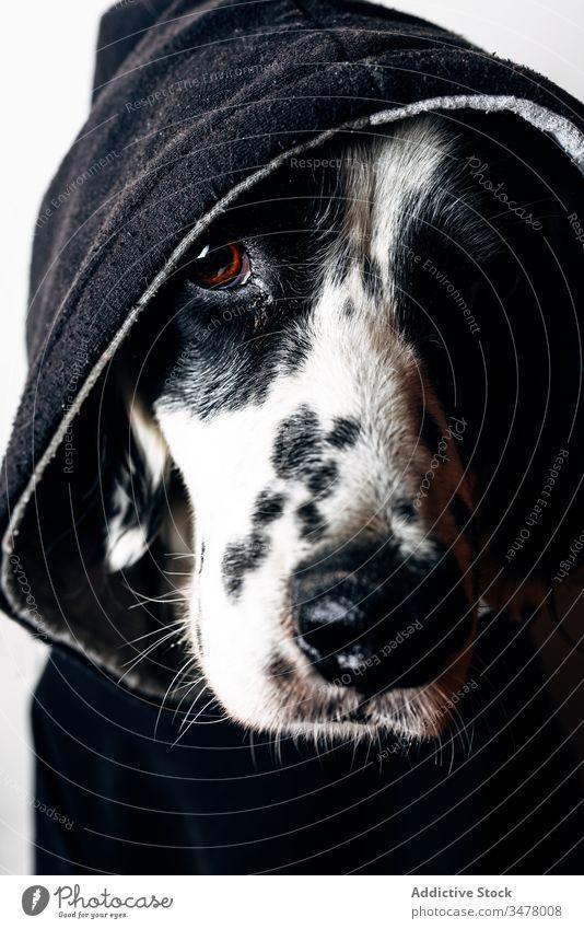 Lustiger Hund in schwarzem Kapuzenpulli Haustier heimwärts Konzept Stock Lügen lustig Tier niedlich heimisch Eckzahn englischer Setter Kleidungsstück Bekleidung